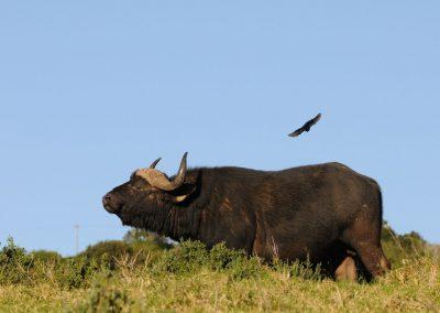 cape-buffalo-1