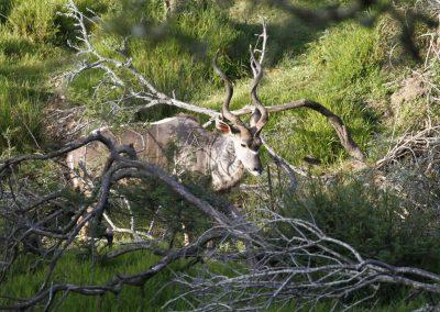 kudu-1
