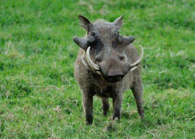 warthog-1