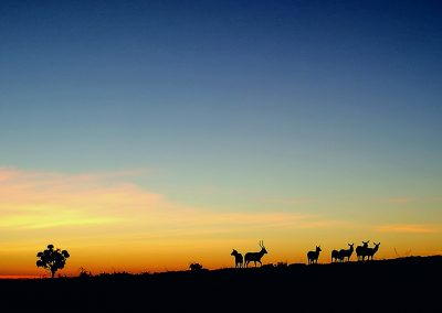 waterbuck-sunset